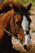 One of our eventing horses, Tirri, Click to enlarge.